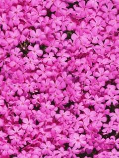 Плантация розовых цветов сделает ваш смартфон ещё ярче