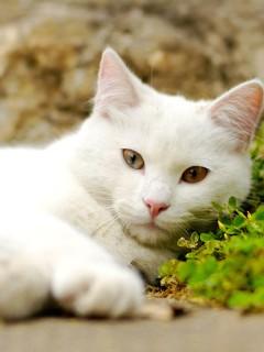 Белый кот с хитрыми глазами лежит и смотрит прямо на вас